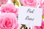 pink roses flowers gift romantic valentines day