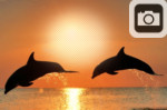 sunset dolphins