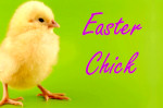 easter chick springtime baby bird