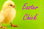 easter chick springtime baby bird