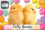 jellybeans candy easter chicks